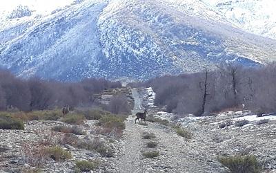 Graban a dos huemulesen área Los Peucos de la Reserva Nacional Ñuble