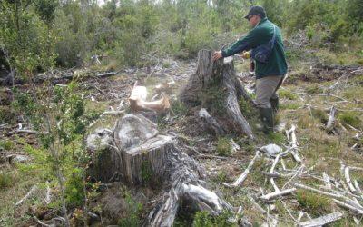 CONAF detectó la tala ilegal de 177 alerces vivos en comuna de Maullín