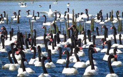 Histórico aumento de cisnes de cuello negro en Santuario de la Naturaleza