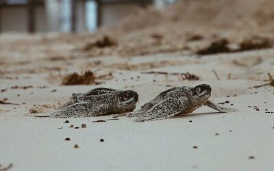 Hard Rock Hotel Punta Cana inicia programa para conservar tortugas marinas
